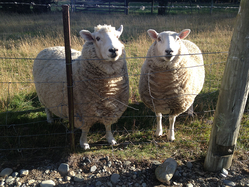 Sheep outnumber people in New Zealand.