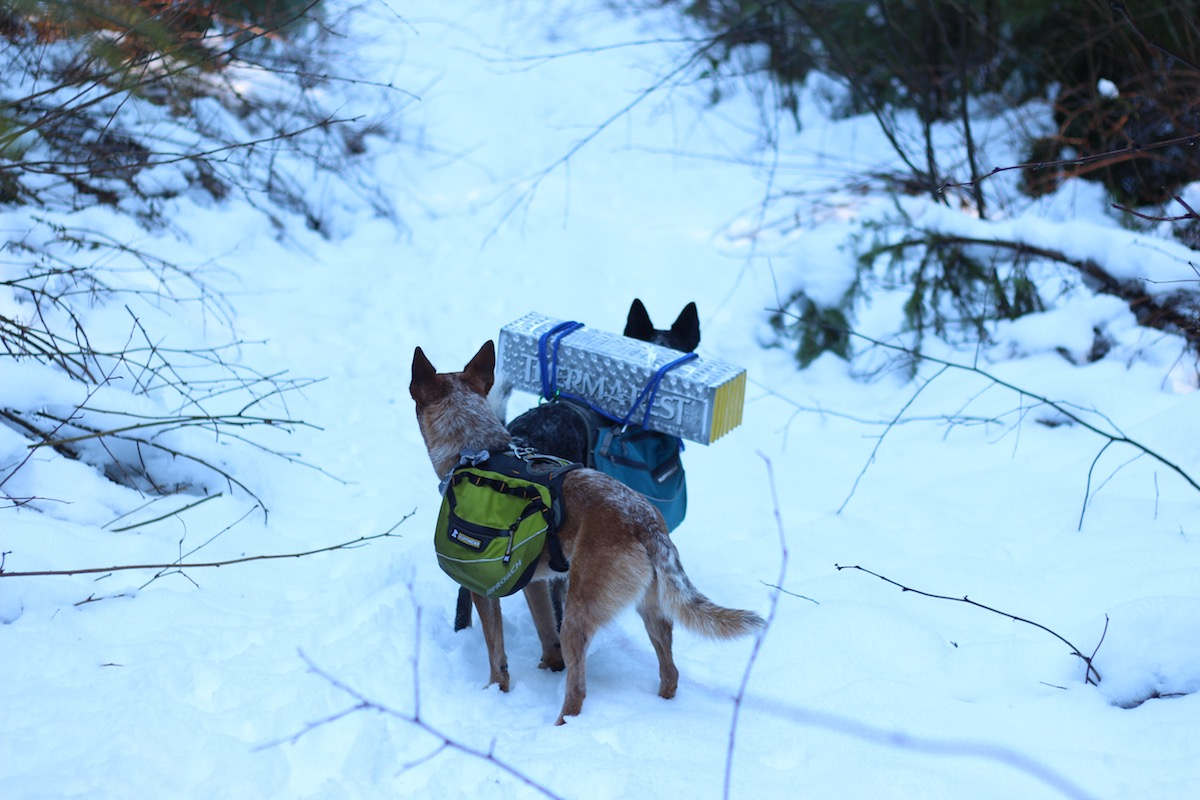 dogs backpacking in snow